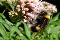 pasieka_w_lipce_pszczola
