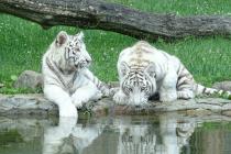 zoo_safari_w_borysewie_tygrysy