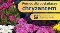 Pomoc dla posiadaczy chryzantem – ARiMR informuje
