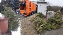 Przedsiębiorstwo Komunalne wWieluniu zbiera żywe choinki