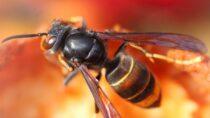 Jak zareagować, gdyzbliża się doCiebie osa, pszczoła lub szerszeń?